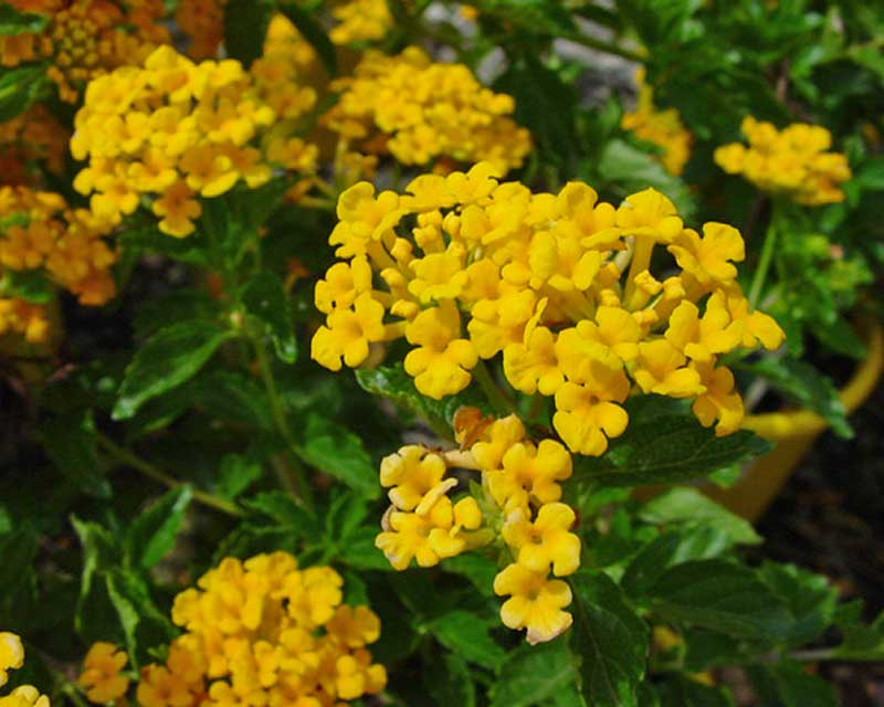 Lantana camara - this is Lantana Dwarf Yellow