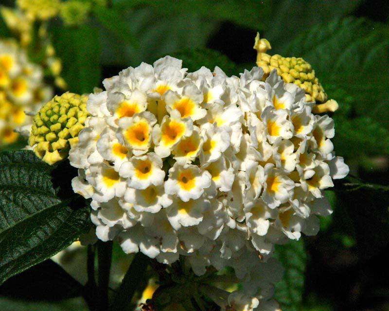 Gardensonline plant finder lantana camara balucwite lucky white clusters of small white flowers with yellow throats mightylinksfo