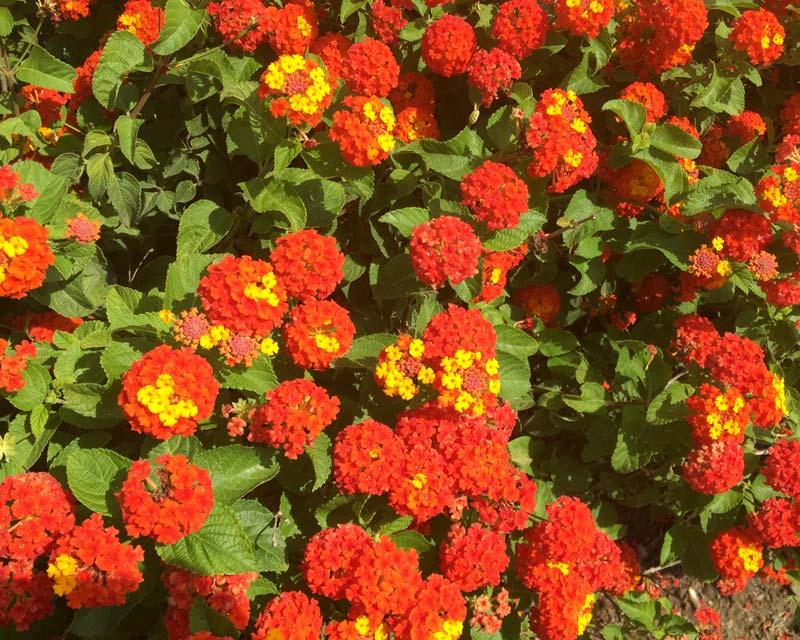 Bright red and yellow flowers - Lantana camara