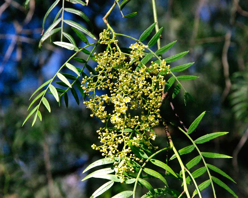 Schinus molle - Peppercorn Tree - dangling clusters of small creamy white flowers