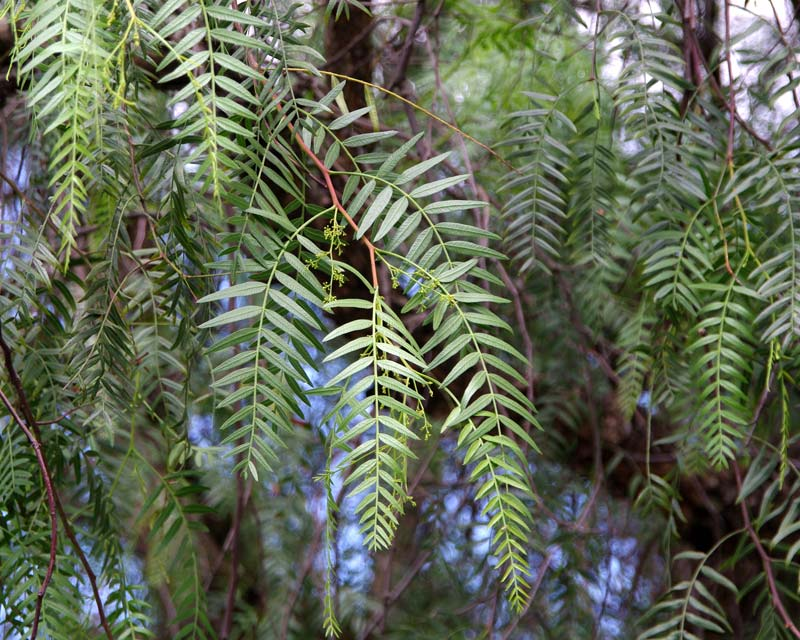 Aromatic leaves with insect repellent qualities - Schinus areira syn Schinus molle var. Areira