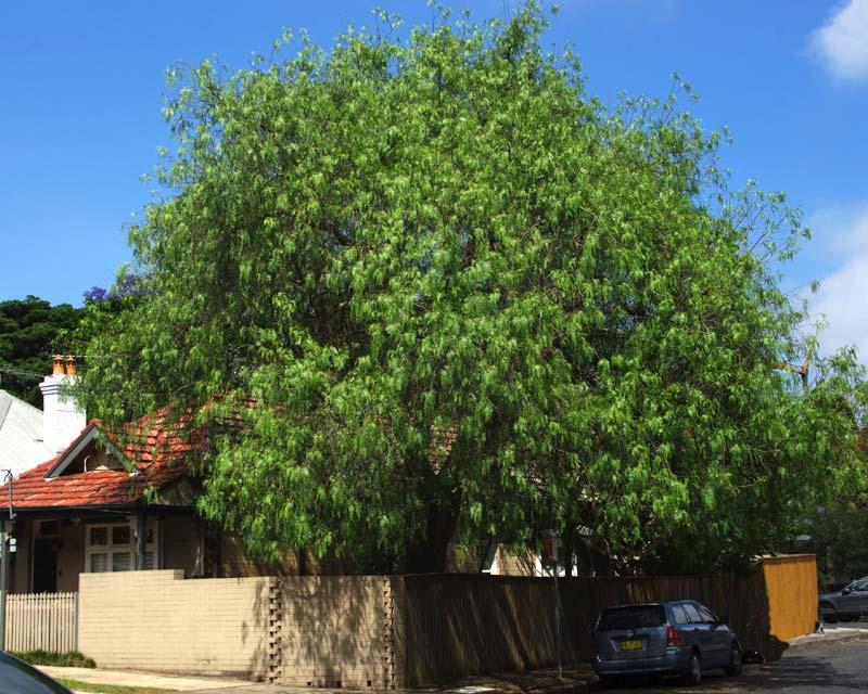 Schinus molle - Peppercorn Tree - attractive broad tree with weeping habit