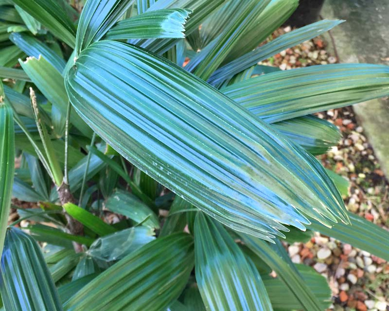 Rhapis excelsa - Minature Fan Palm - leaves ribbed with flat jagged 'toothed' tips