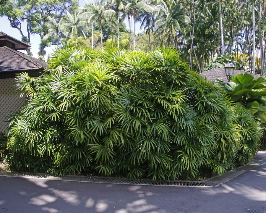 Rhapis excelsa as seen at Singapore Botanic Gardens.