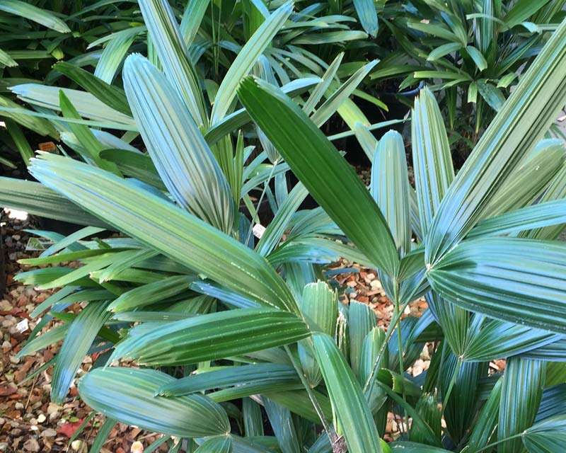 Rhapis excelsa - Minature Fan Palm
