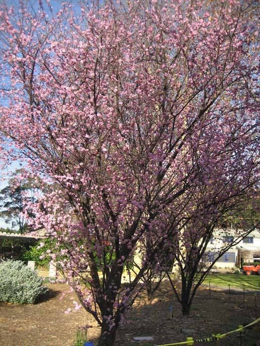Prunus x blireiana
