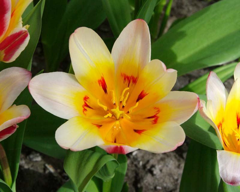 Tulipa Floresta hybrid