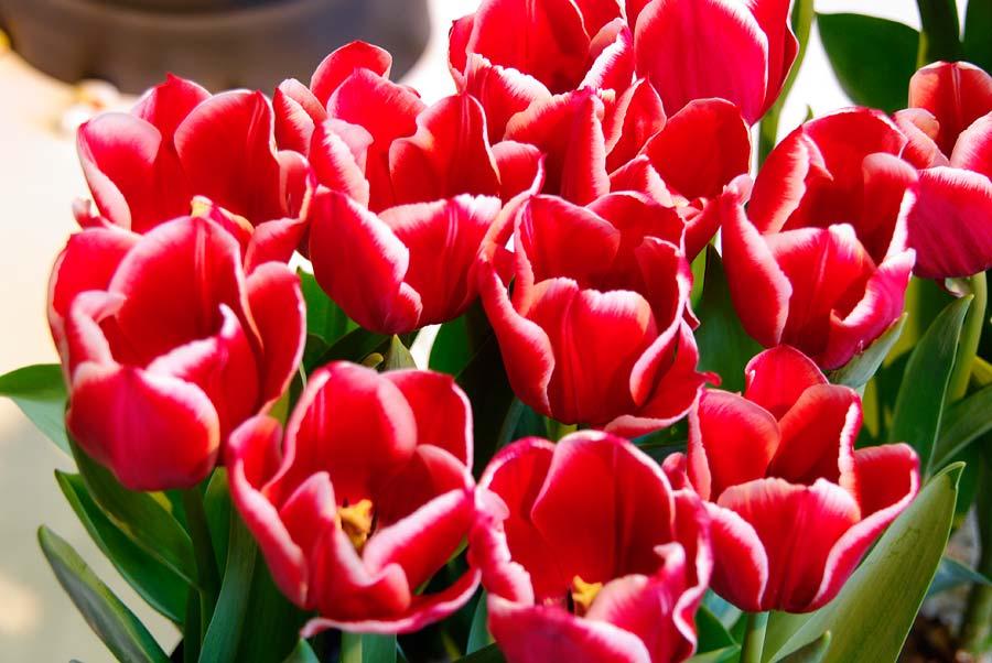 Tulipa Mehriban