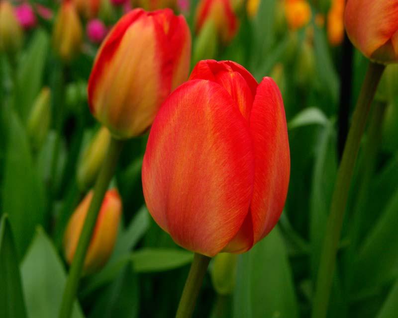 Tulipa Oriana