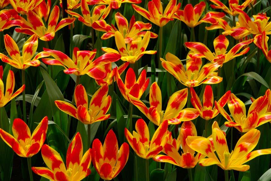 Tulipa Spanish Flag