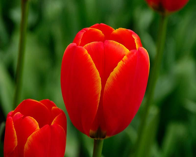 Tulipa Worlds Favourite