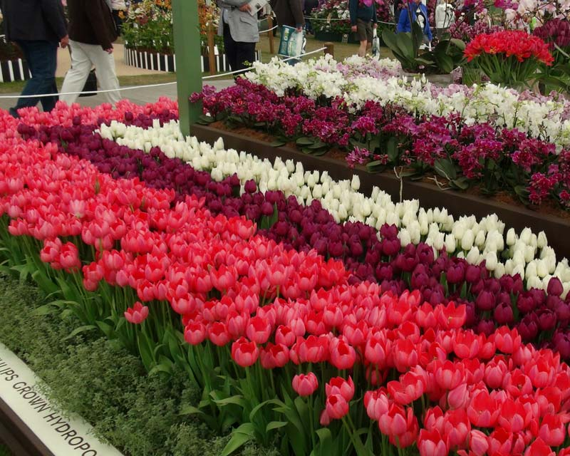 Tulip display at Chelsea Flower Show