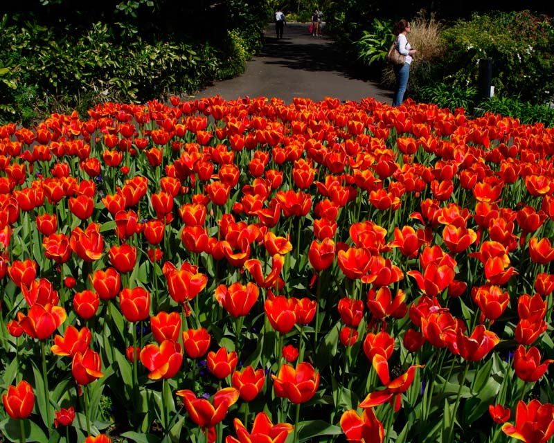 Tulips in spring at Sydney Botanic Gardens in the Domain