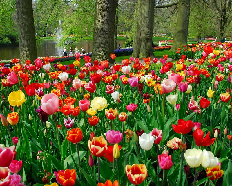 Tulips -  Keukenhorf Gardens, Holland