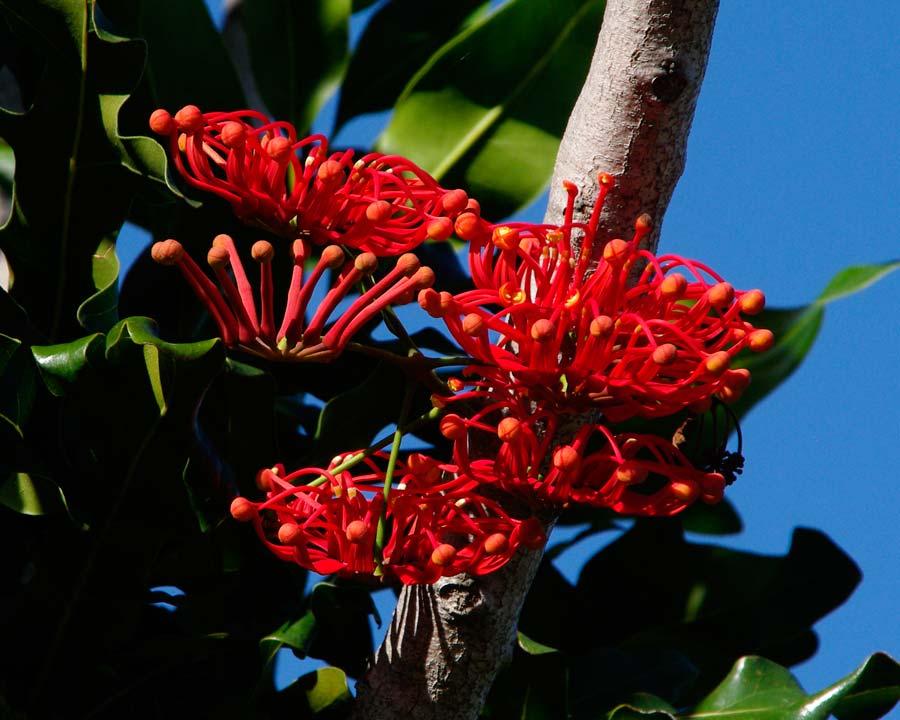 Stenocarpus sinuatus | GardensOnline