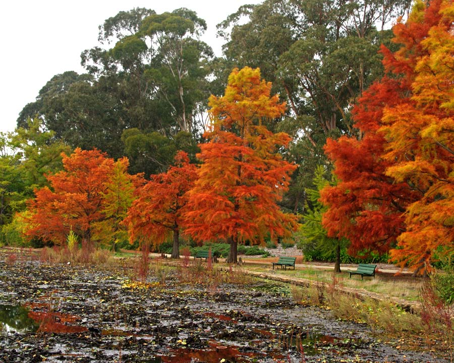 Taxodium distichum - autumn colour. Commonwealth Park, Canberra