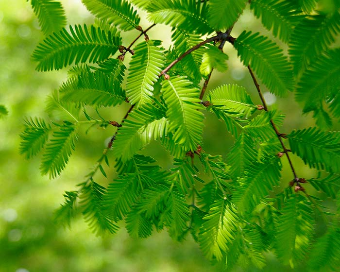 Bright green spring leaves of Taxodium distichum - Swamp Cypress