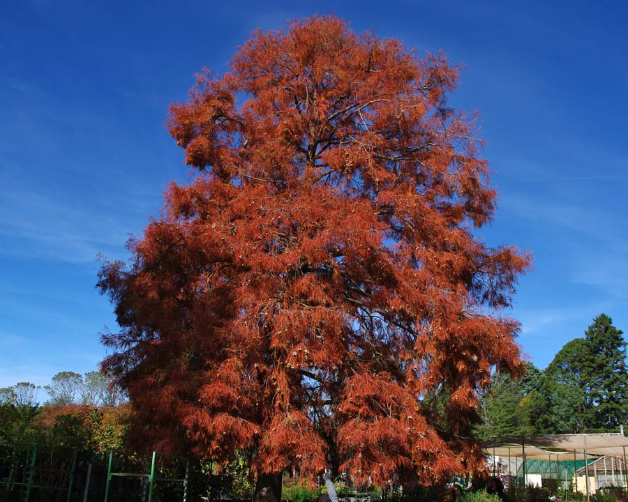 Taxodium distichum Swamp Cypress - red bronze foliage in autumn