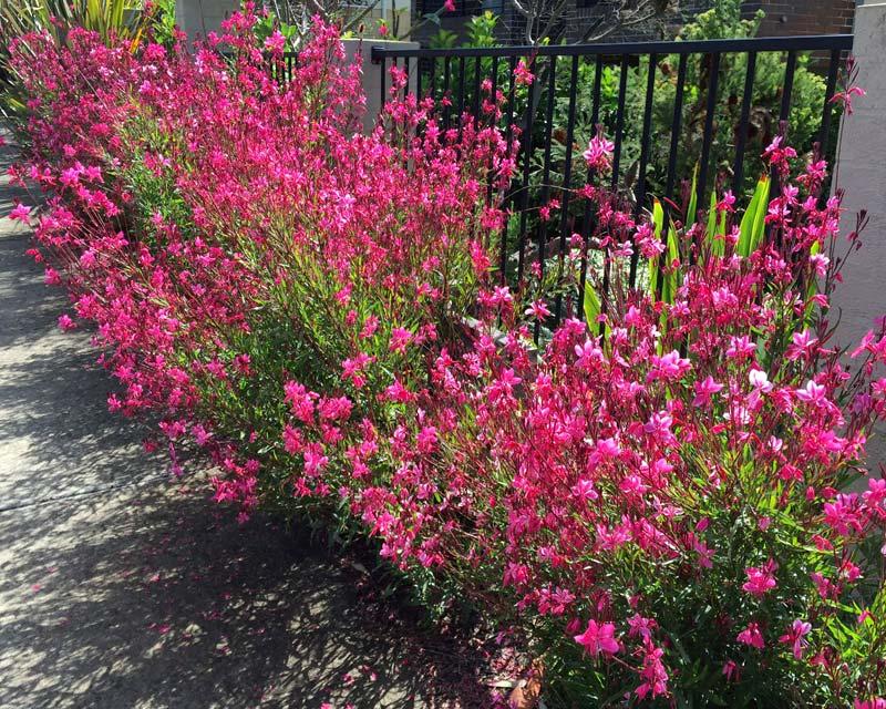 Gaura lindheimera - deep pink variety - wonderful display in spring and summer