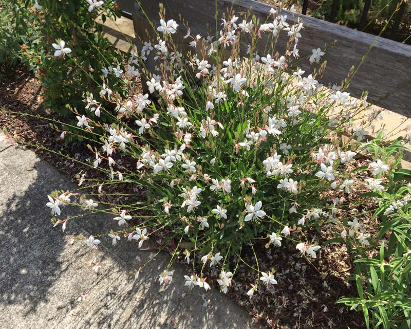 Gaura lindheimera - white variety - delicate flowers during spring and summer