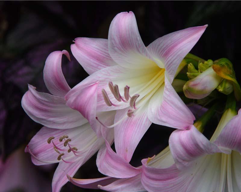 Gardensonline amaryllis belladonna for Amaryllis belladonna vente