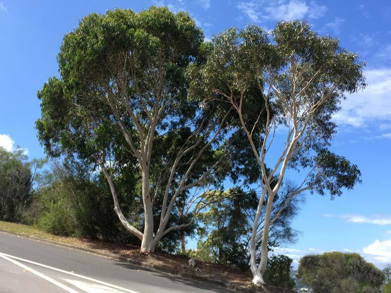 Eucalyptus haemastoma - Scribbly Gum Medium size tree single or multi-trunked
