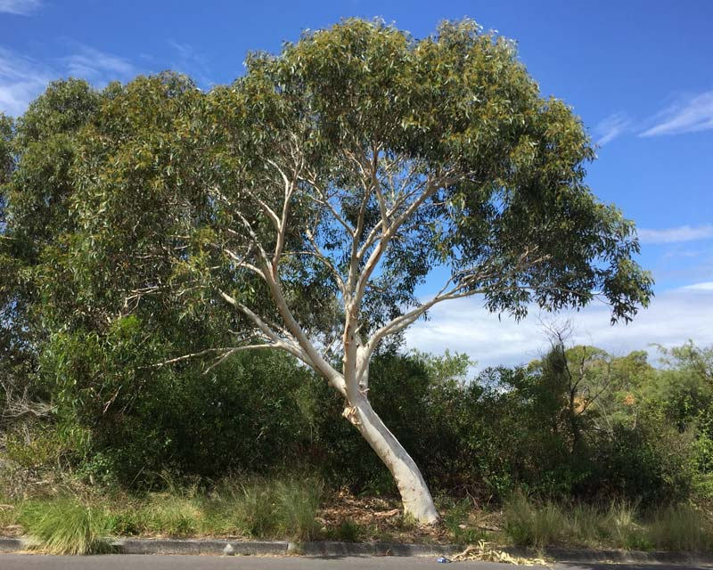Eucalyptus haemastoma Scribbly Gum - Smooth is a beautiful Gum Tree with smooth white bark