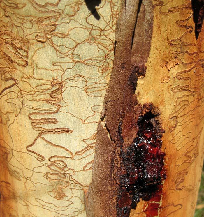 Eucalyptus haemastoma - Scribbly Gum