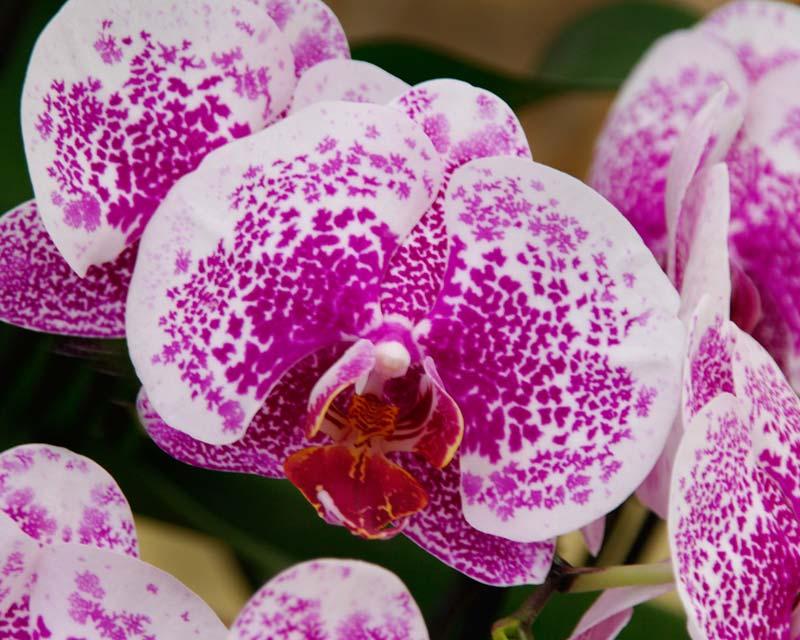 Phalaenopsis Ackers Sweetie