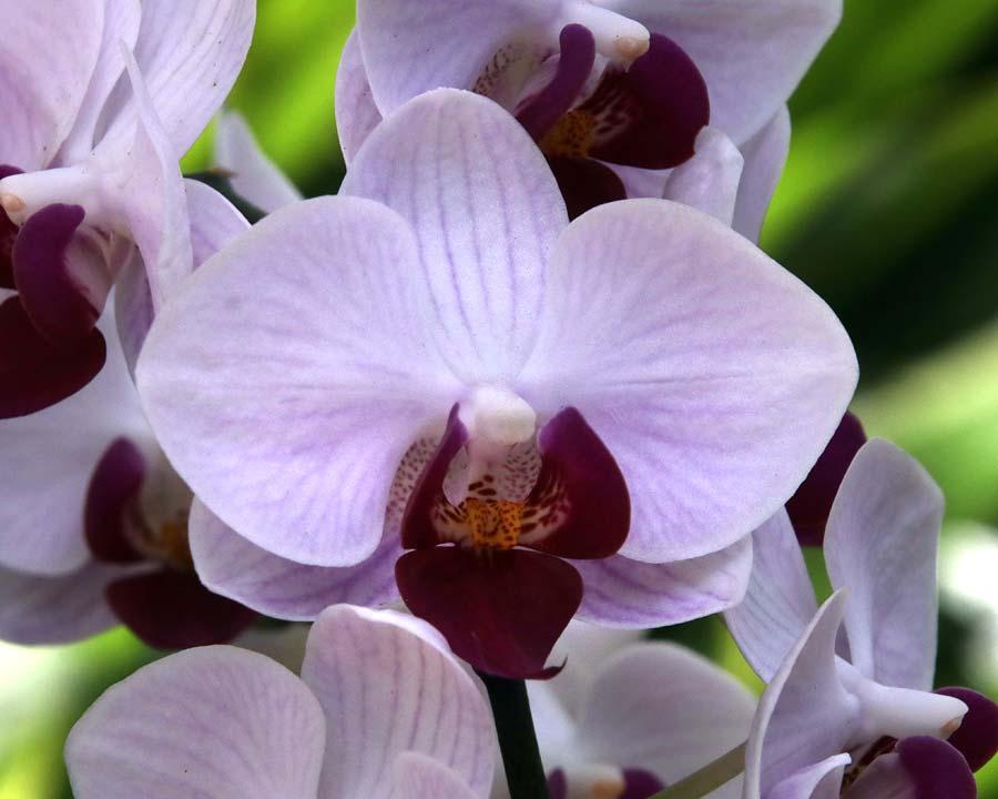 Phalaenopsis amabilis in shades mauve