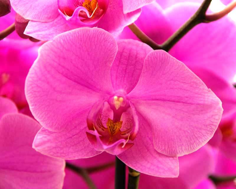 Phalaenopsis Anthura San Fransisco