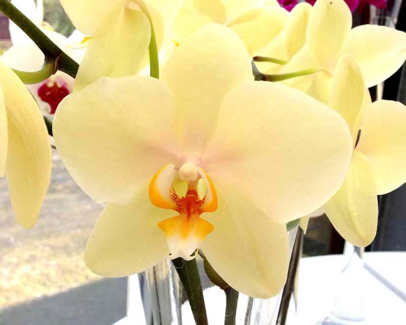 Phalaenopsis Detroit
