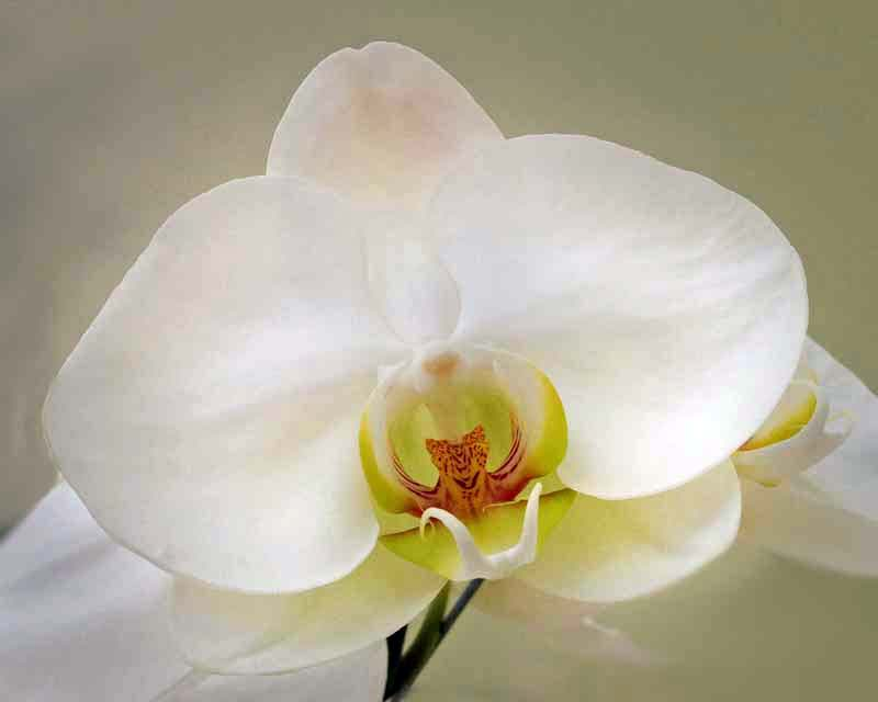 Phalaenopsis Kobe - white flowers with a hint on pink