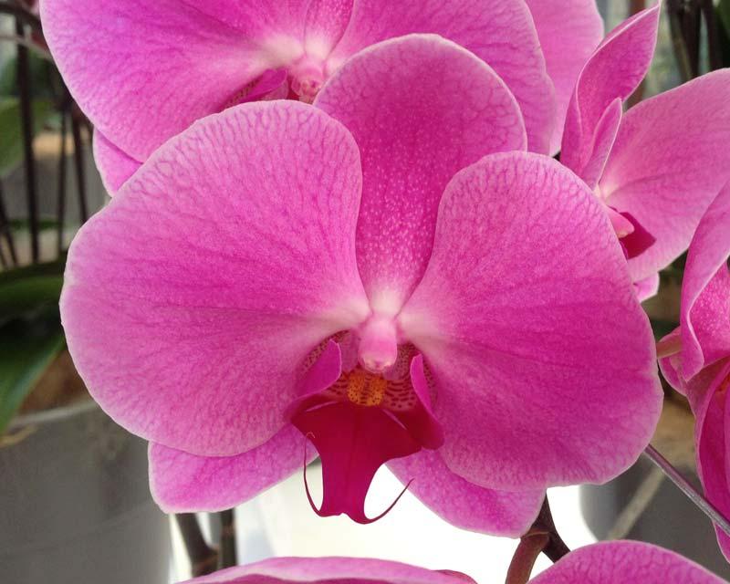 Phalaenopsis-Surabaya