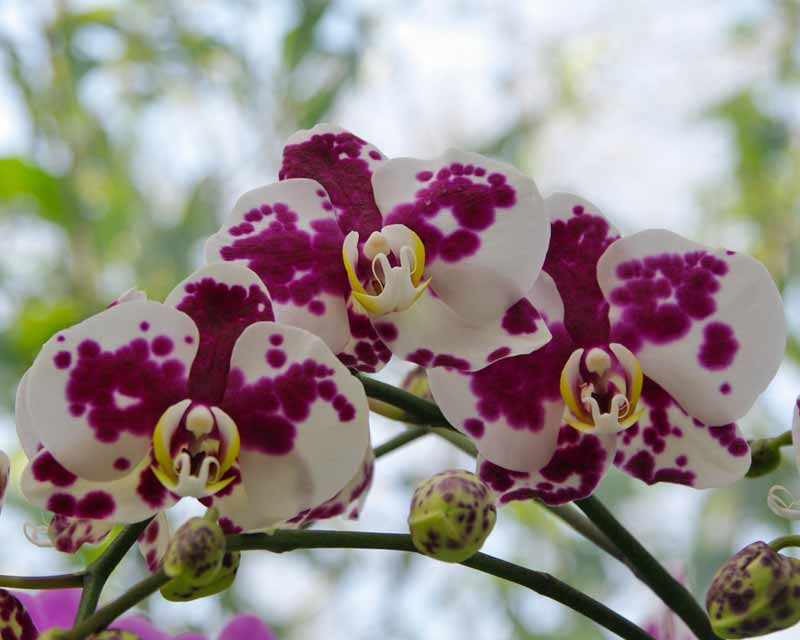 Phalaenopsis Anthura Palamos Phaldetam - white flowers with splashes of purple