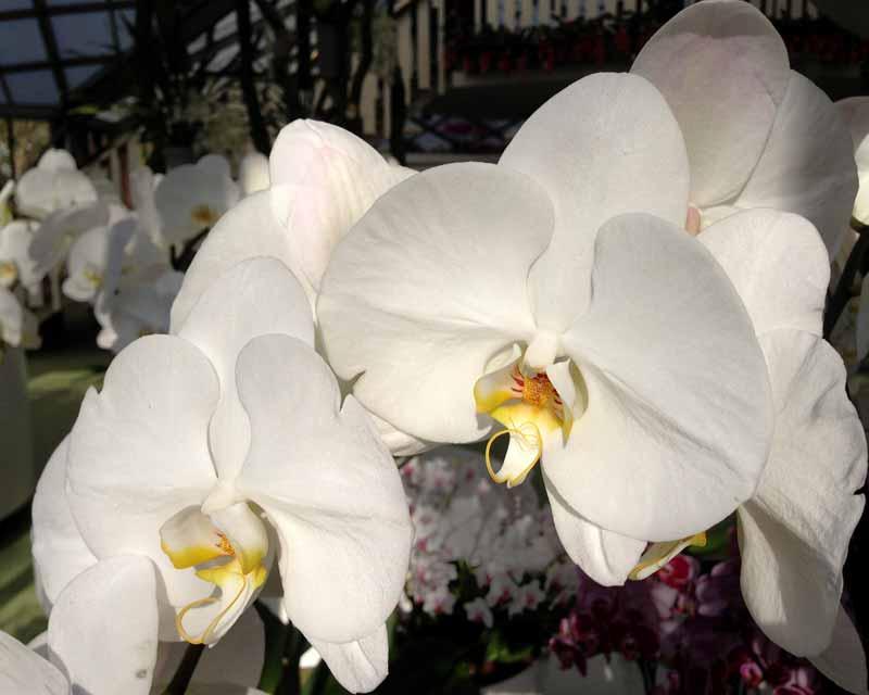 Phalaenopsis join Grace Beijing