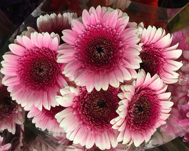 Gerbera jamesonii - a favourite for floral bouquets
