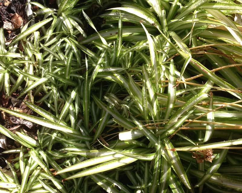 Chlorophytum Comosum can get messy if left