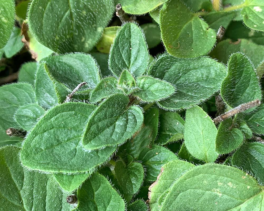 Origanum vulgare - Oregano