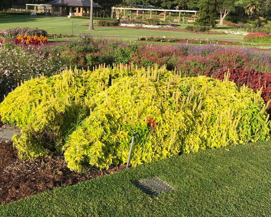 Plectranthus scutellarioides commonly known as Coleus, Lemon has bright yellow to lime green leaves