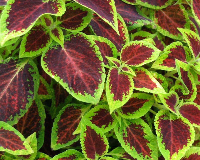 Solenostemon scutellarioides - Some with very rich and vibrant colours