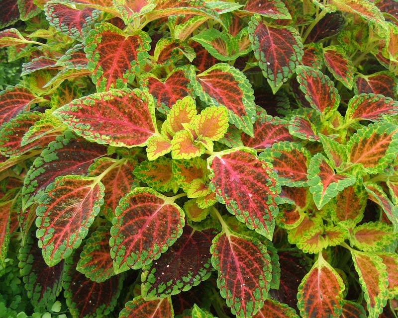 Solenostemon scutellarioides - Coleus -The velvety texture helps make the colours vibrate at times.