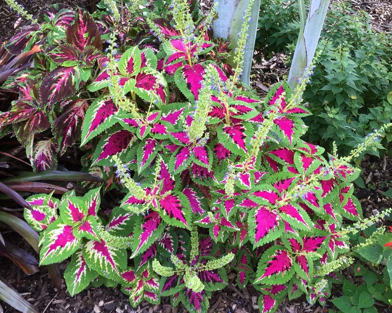 Coleus cultivar - pink and green leaves