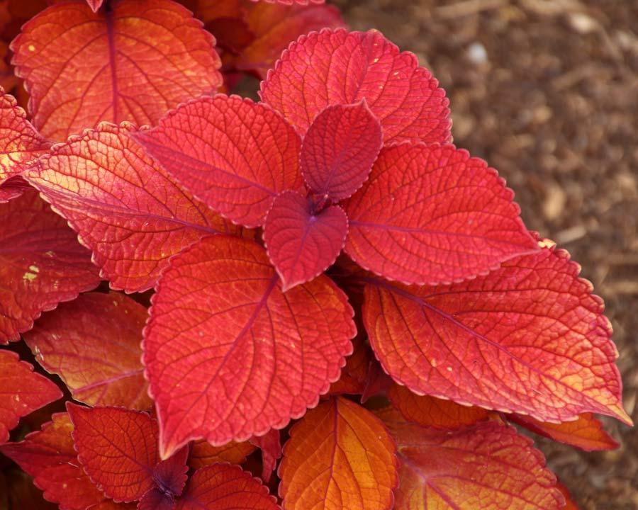 Solenostemon scutellarioides 'Campfire' Orange/Red leaves