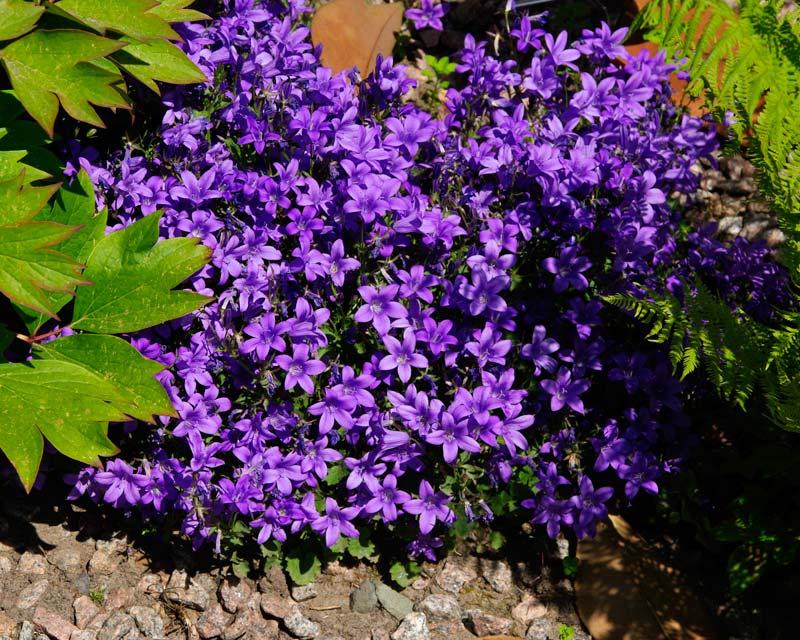 Drive Time Locations >> GardensOnline: Campanula portenschlagiana syn. Campanula ...
