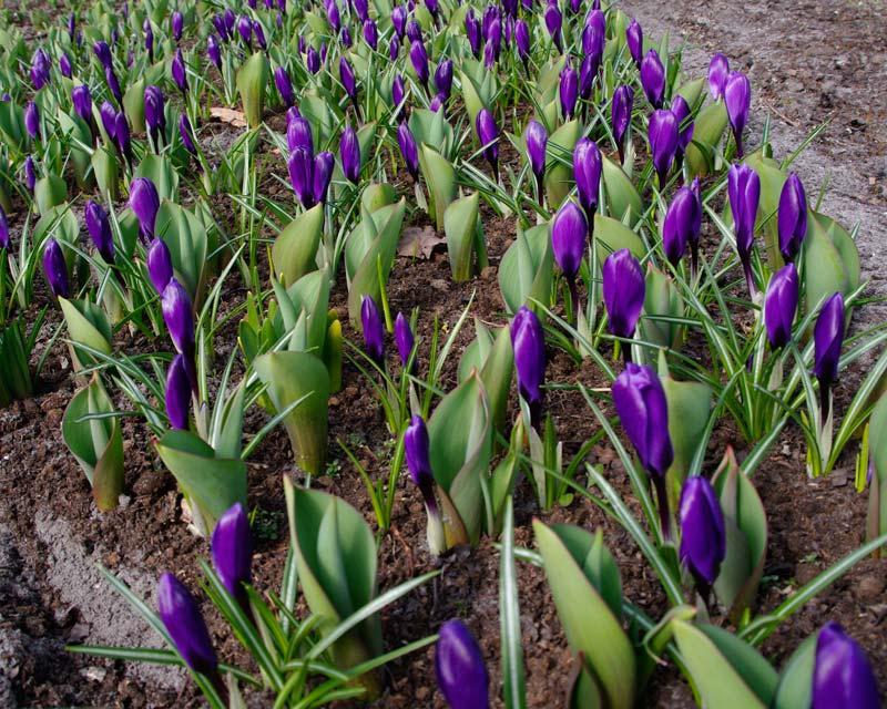 Crocus x Flower Record