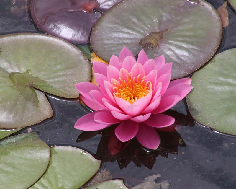 Nymphaea Perry's Pink - a hardy hybrid.