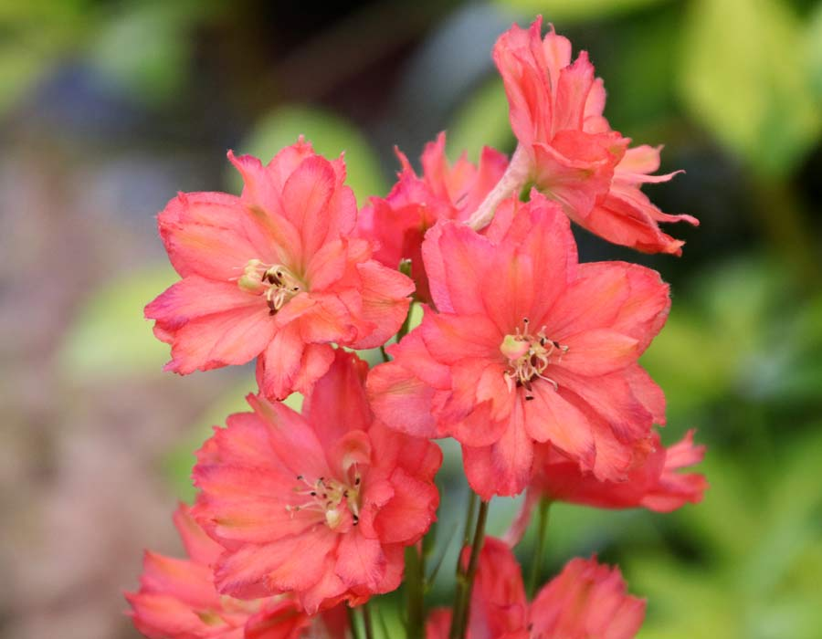 Delphinium 'Red Caroline' has soft red double flowers