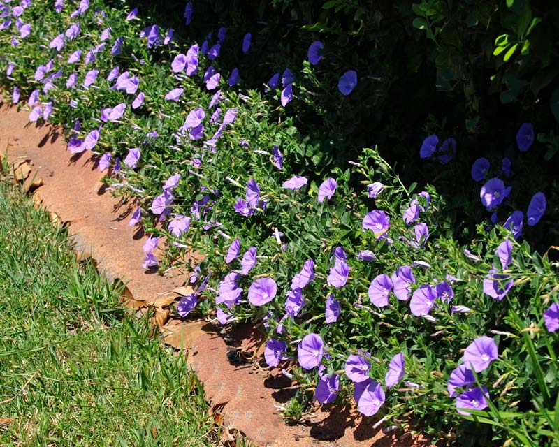 Gardensonline Convolvulus Sabatius Ssp Mauritanicus