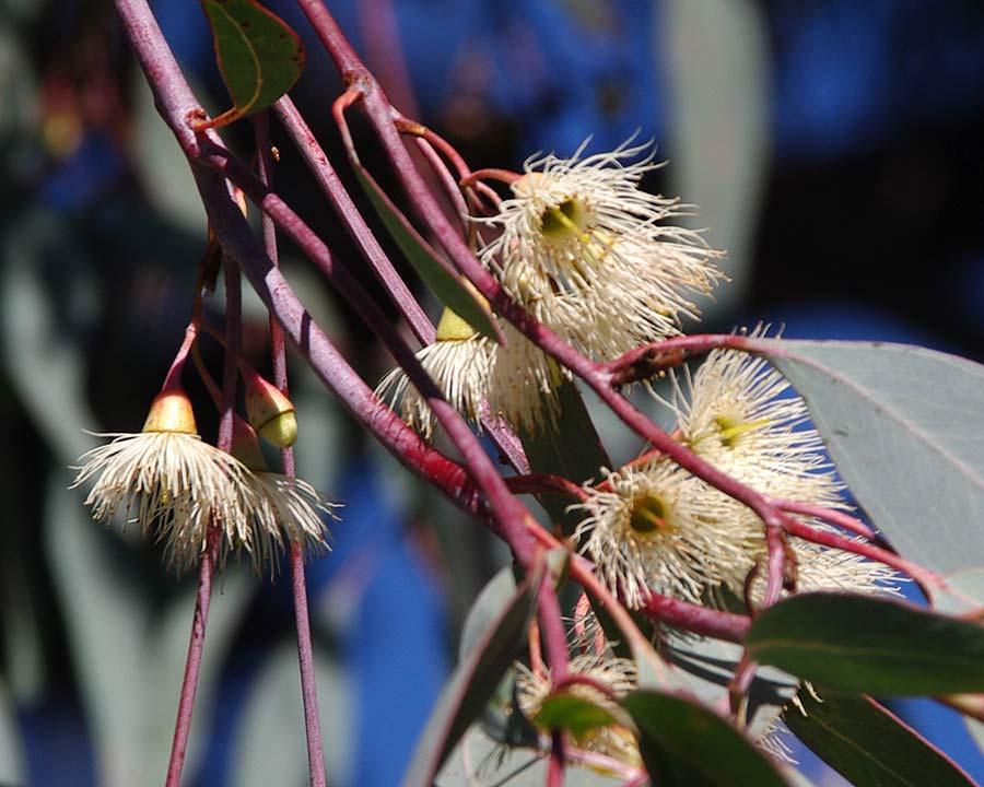 White stamenous flowers of Eucalyptus sideroxylon